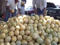Cae producción de melón por sequía