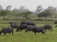 Crianza de búfalo la nueva alternativa