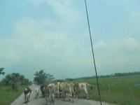 Daña sequía a la ganadería