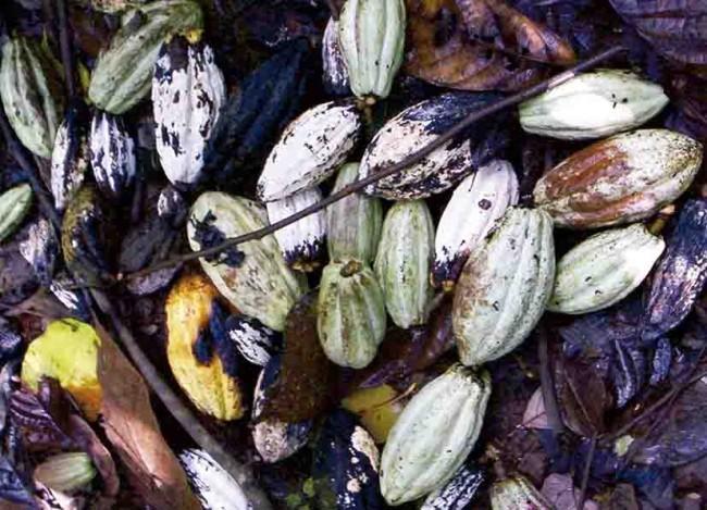 Frentes fríos afectan producción de cacao