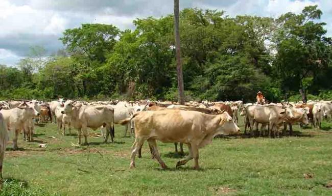 Imparable robo de ganado en Los Ríos