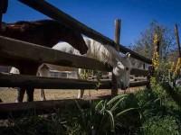 Roban caballos, los matan  y venden la carne a taqueros