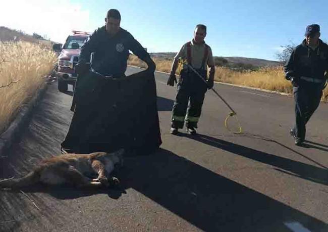 Arrollan a puma y lo  abandonan en carretera