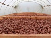 Gestionan 120 mdp para los cacaoteros