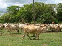 Combate reforma penal tráfico ilegal de ganado