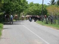 Movilizan ganado a las zonas altas
