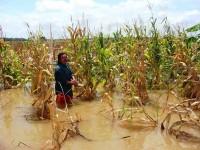 Afectadas hectáreas de maíz por lluvias