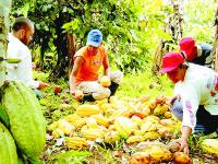 A la alza producción de cacao