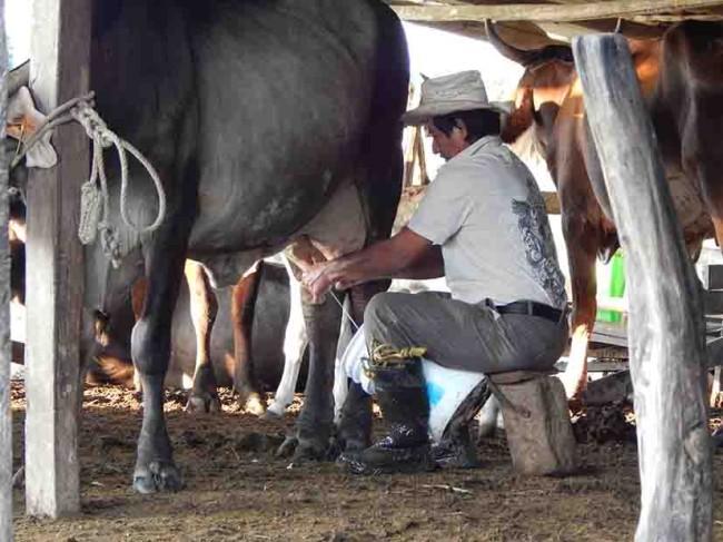 Sobreviven rejegueros a la crisis lactea de Jonuta