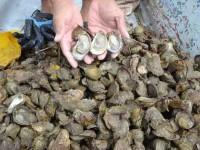 Nuevo laboratorio ayudará a producción ostrícola: Galván