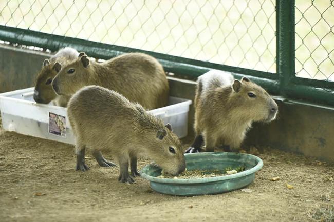 Aumenta Yumká  su fauna con  cuatro capibaras