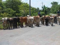 Sufre el ganado por la fuerte sequía