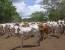 Benefician lluvias al sector ganadero
