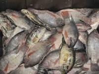 Baja la venta de  tilapia en Tabasco