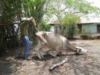 Muere ganado por altas temperaturas en Jonuta