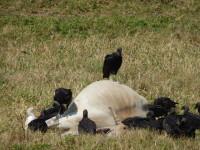 Preocupa a ganaderos mortandad de animales