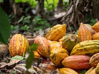 Cacaoteros en el olvido