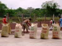 Productores de cacao cumplen objetivo
