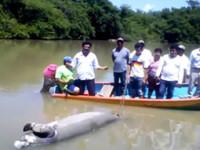 Suman 131 manatíes muertos en los Bitzales