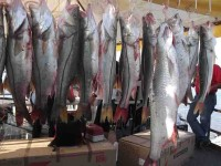 Banderazo a la pesca deportiva del robalo