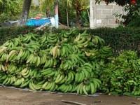 Comercialización de plátano está paralizado por las lluvias