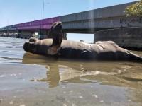 """Aparece manatí muerto en zona turística """"El Bellote"""""""